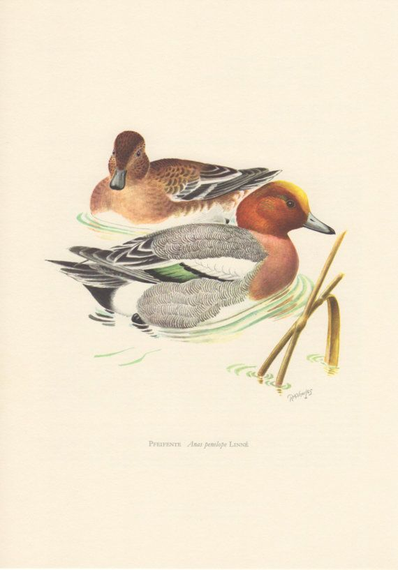 1956 Wigeon Duck Antique Print Vintage Lithograph by Craftissimo