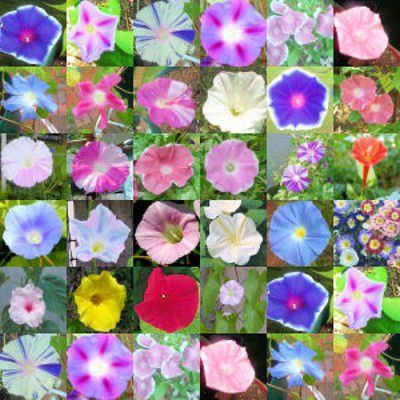 MORNING GLORY, many different colors including varieties: Heavenly Blue, Scarlet O'Hara, and Moonflower. Vines can grow up to 12 feet and can twine around anything and everything. Have them grow up mailboxes, trees, shrubs, fences, birdhouses, etc. Does best in full sun.