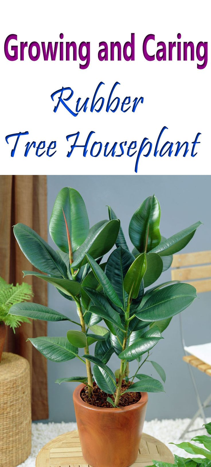 Rubber Plant Care Houseplant 59