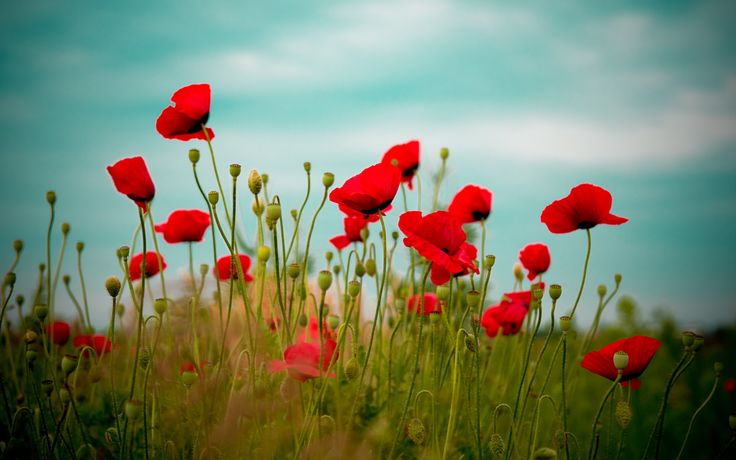 Wallpaper Download 5120x3200 Field full with poppies - beautiful red flowers. Beautiful flowers and plants Wallpapers. HD Wallpaper Download for iPad and iPhone