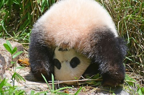 "Bao Bao says ""hello."""