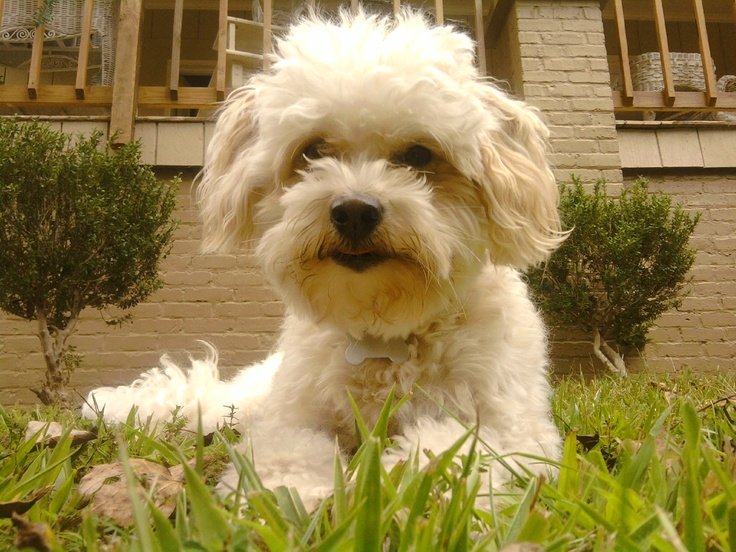 Information on Maltipoo Puppies for Sale in Washington
