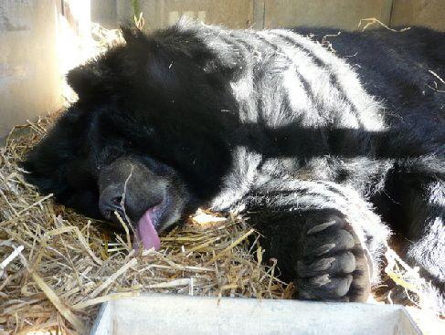 Viviane, l'ours du Tibet, est de retour à la Réserve Africaine de Sigean