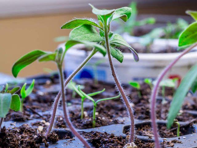 Semer les tomates permet de cultiver des variétés rares ou anciennes, d'étaler facilement les récoltes, tout en réalisant des économies. Voyez comment réussir vos semis.