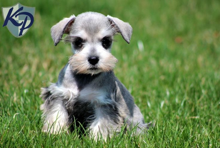 79 Best Perros Hermosos Images On Pinterest Mini Schnauzer