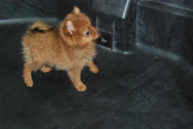 Brown Pomeranian Puppy Photos