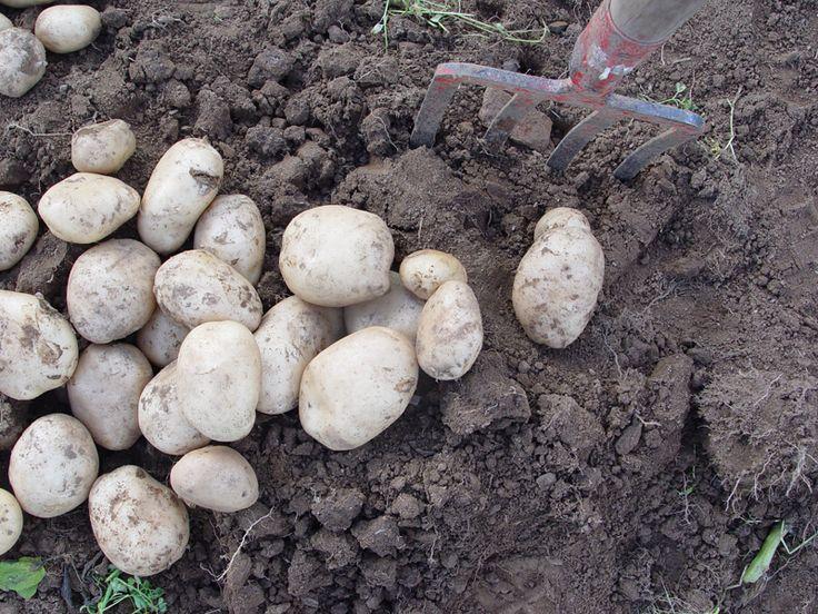 Patatas de Coristanco - Agro do Cruceiro. Encuéntralas en http://www.elhatillo.es/agro_do_cruceiro