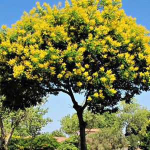 peltophorum dubium - acácia amarela