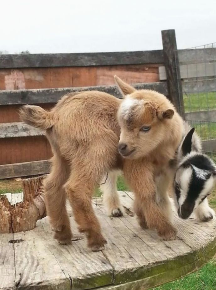 Baby Animals Funny Pygmy Goats Babay Cute Sweet In 2020 Baby Animals Funny Goats Baby Goats