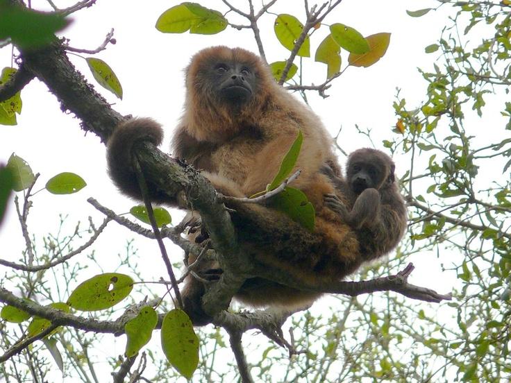 """""""""""mama y yo"""""""", sendero Che Roga, y sus monos caraya. Esteros del Ibera. Corrientes, Argentina"""