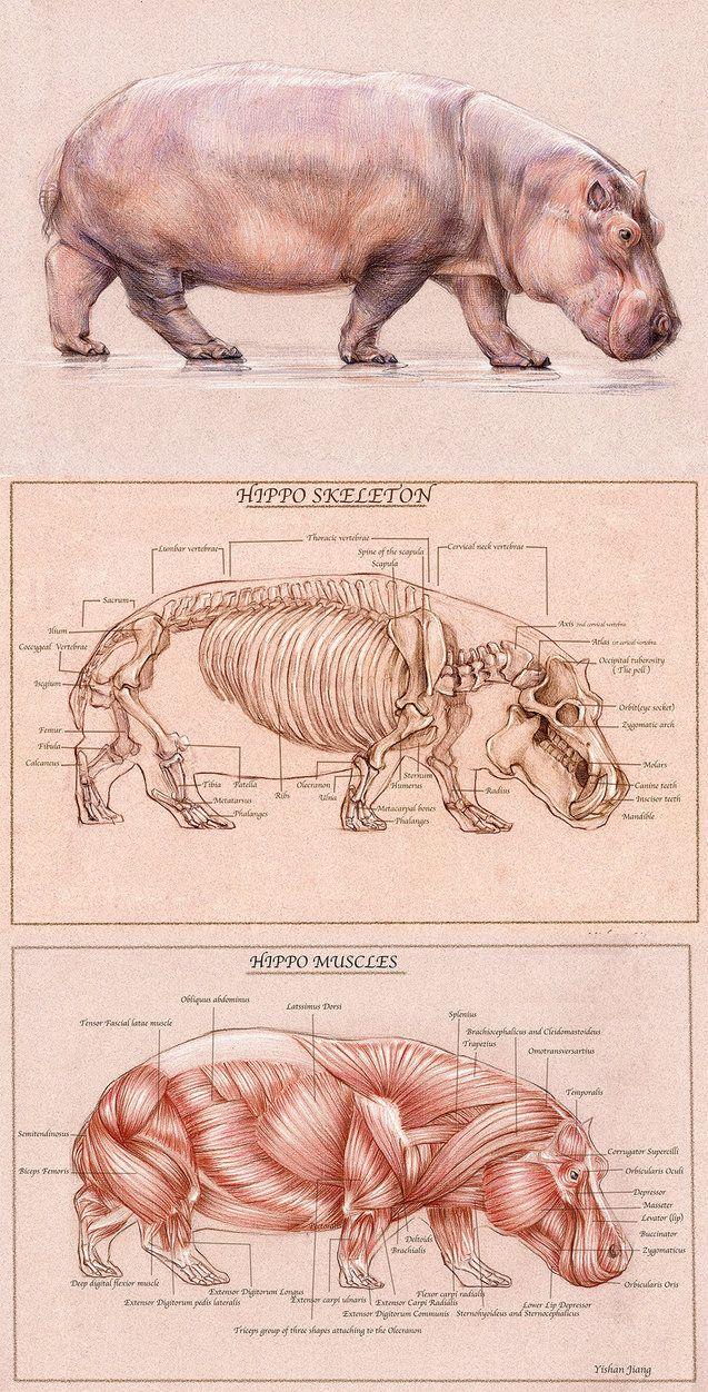 El #Hipopotamo #Fauna caracteristica cerca de Ríos y Lagos en #África ... Hippo Skeleton & Muscles