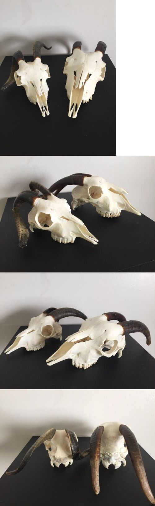 Other Taxidermy 22702: 2 Goat Skulls/ Horns/Antlers / Hunting/Taxidermy/Southwestern Decor/ Magic BUY IT NOW ONLY: $35.0