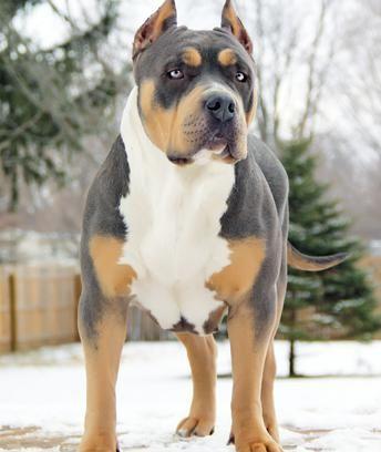 XXL Blue Pitbulls Biggest Pitbull Puppies Kennel | Boy dog ...