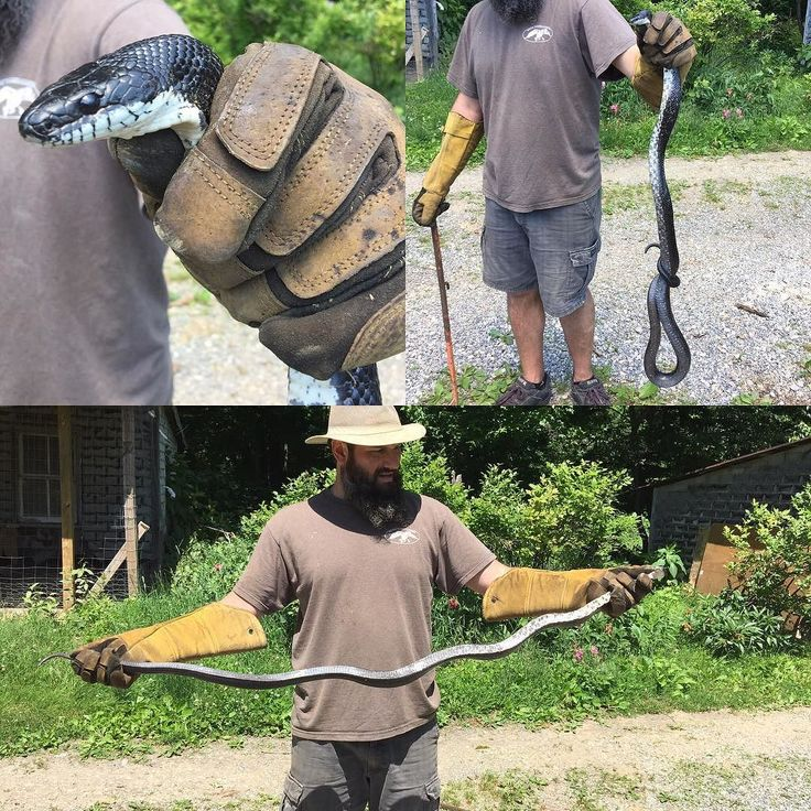 Caught a rather large black snake today. Largest snake ive ever grabbed. I let him go so he can keep eating my rodents. #siscovalleyfarm #blacksnake #snake #farmlife