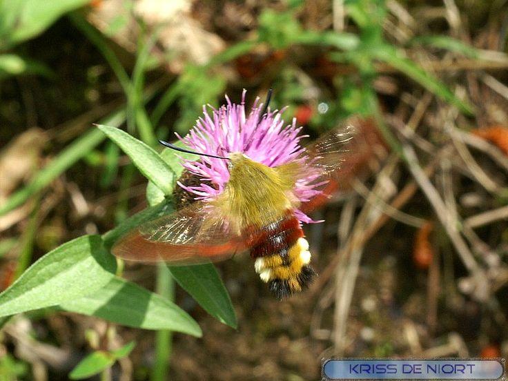 http://faaxaal.forumgratuit.ca/t2263-photo-de-papillon-sphinx-gaze-sphinx-fuciforme-hemaris-fuciformis-broad-bordered-bee-hawk-moth