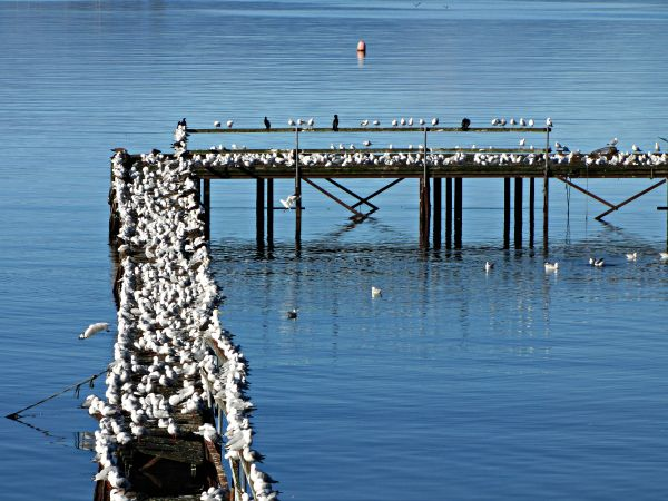 Seagulls take over the jetty in #Dover, a pretty seaside fishing village in Far South #Tasmania. Article and photo for think-tasmania.com