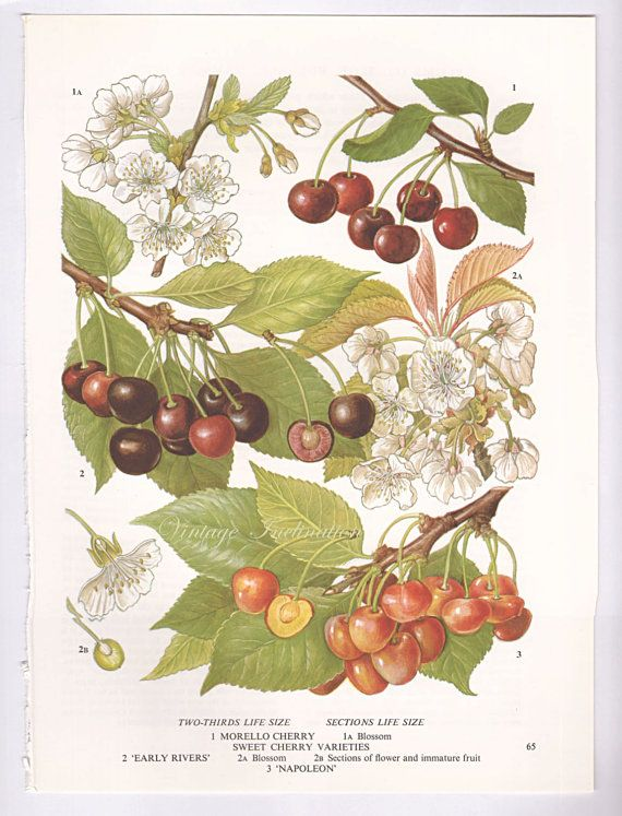 Botanical Fruits CHERRIES Print edible by VintageInclination