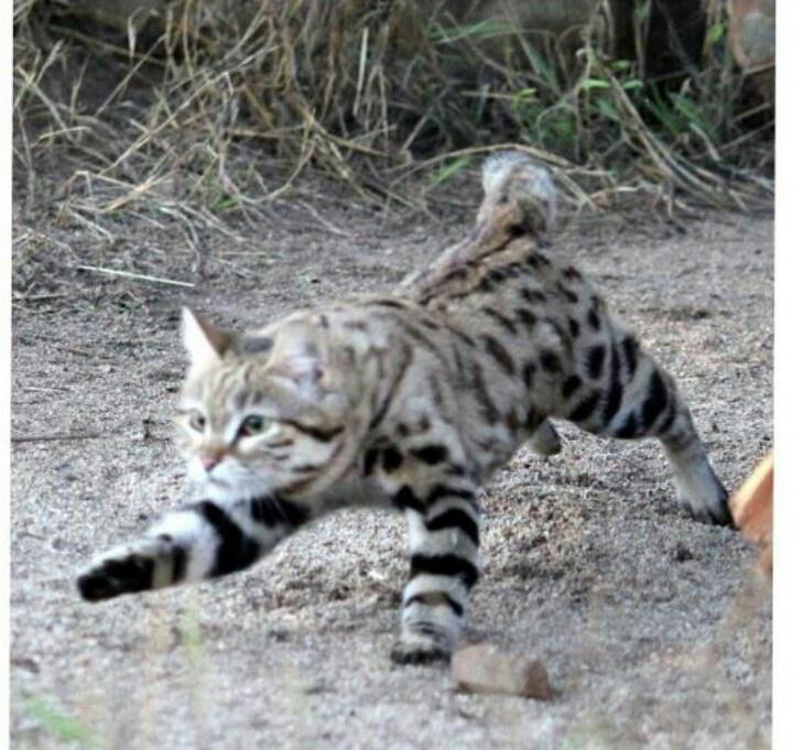 Blackpool wild cat