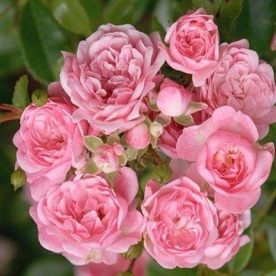 Rosier du Paysage ! Le Rosier paysager 'The Fairy' est l'un des rosiers préférés des paysagistes : avec son port compact couvre-sol, il se plante en massifs ou bordures de rosiers. Du printemps à l'automne, le Rosier 'The Fairy'se couvre de petites fleurs doubles rose tendre. La floraison est continue. C'est un rosier arbustif à port étalé et à petit développement. Le Rosier 'The Fairy' a des dimensions de 60cm x 80cm.