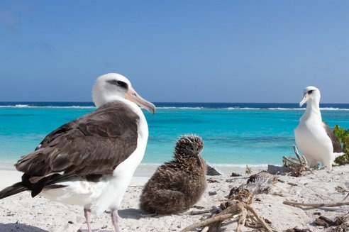 Laysan Albatross, Midway Atoll. http://www.oceanicsociety.org/trip/natural%20history/midway-atoll