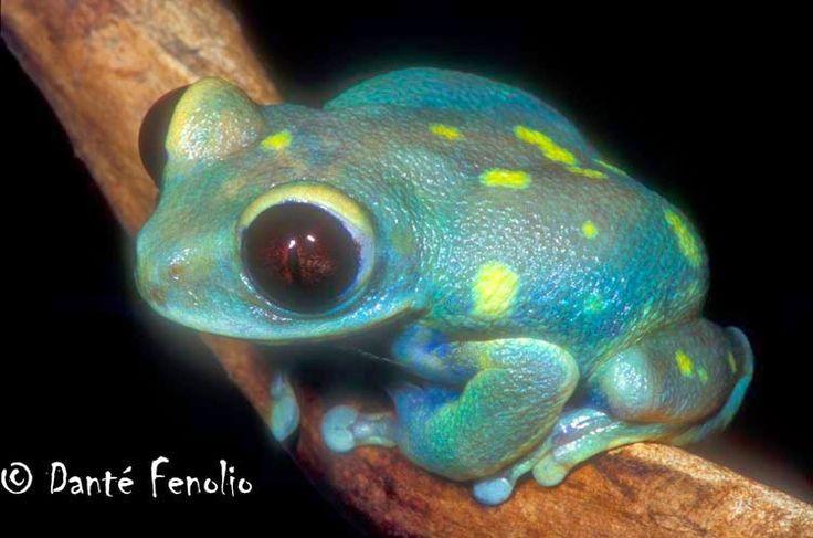 """Biologia-Vida: """"Perereca de olhos rubi"""" / Ruby Eyed Treefrog (Leptopelis uluguruensis)""""Perereca de olhos rubi"""" (Leptopelis uluguruensis) endêmica da Tanzânia; as cores variam entre verde, azul claro/escuro, marrom, e algumas possuem manchas brancas e/ou amarelas no dorso. É uma espécie vulnerável à extinção, devido a perda de habitat.©"""