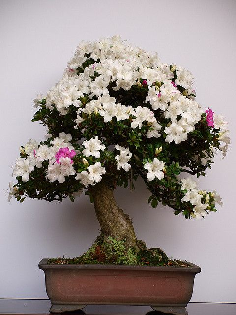 bonsai / 盆栽 by tsuppie, via Flickr