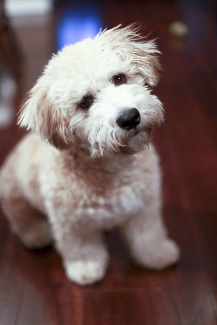 25 Best Ideas About Mini Poodles On Pinterest Toy