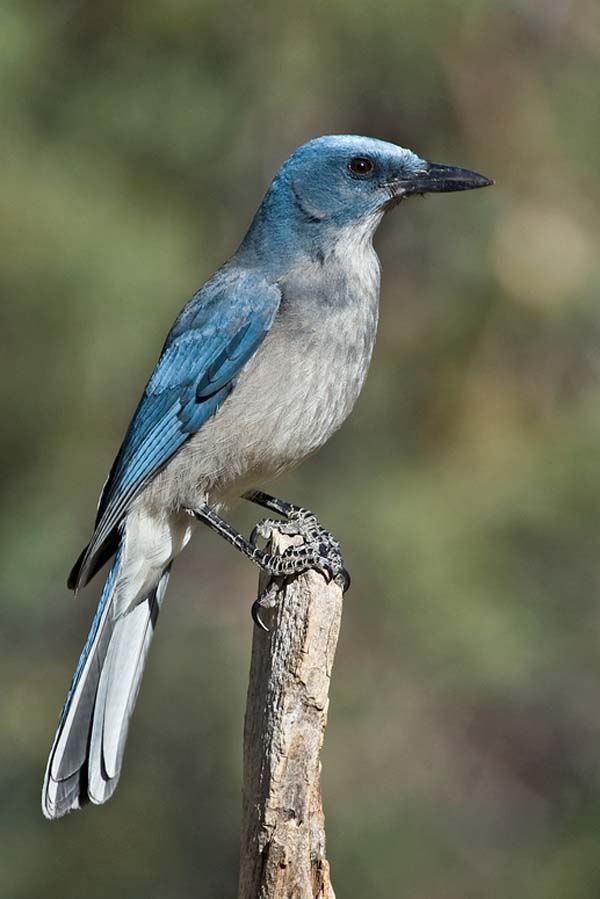 Also called the gray-breasted jay and Arizona jay, this large, 11- to 13-inch blue-gray jay without a crest is possibly the most interesting bird of the crow family. Mexican jays usually live in flocks of from 6 to 20 birds throughout the year and are semicommunal in the breeding season.