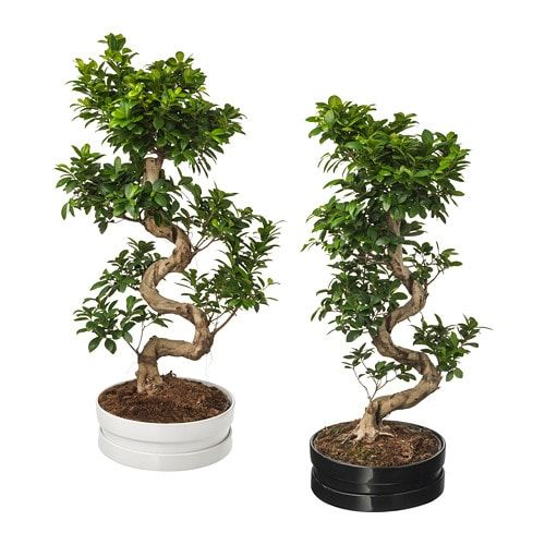 Potted Plant With Pot Ficus Microcarpa Ginseng Bonsai