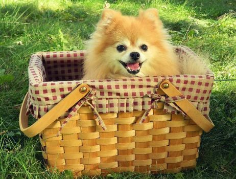 Pomeranian Picnic (80 pieces)