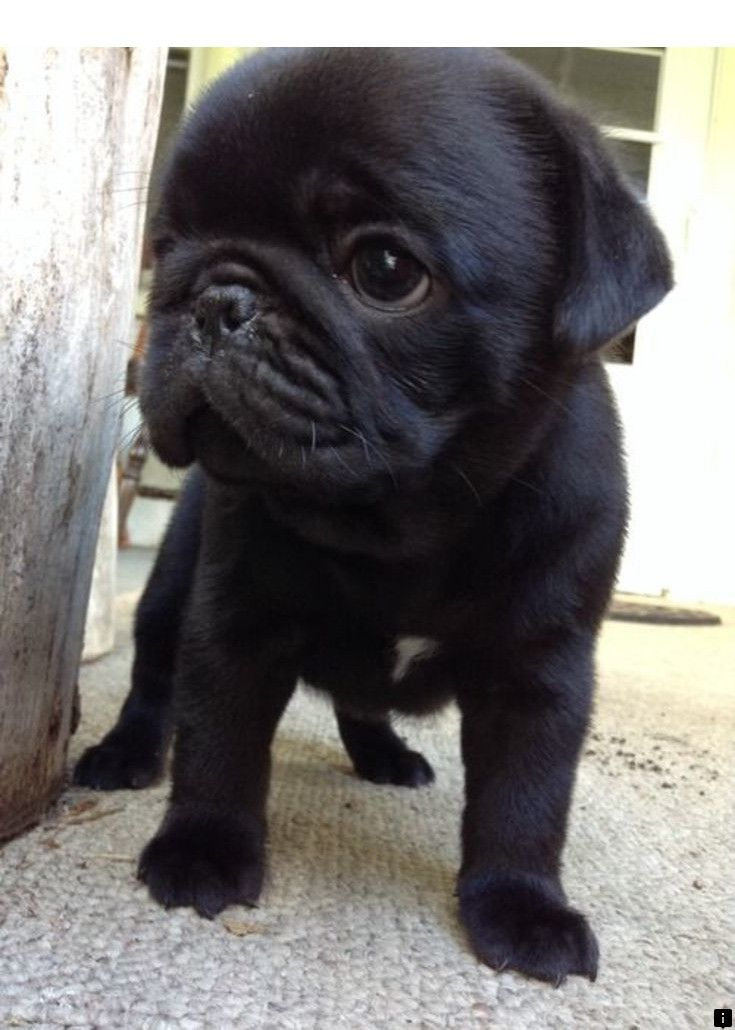 Simply Click The Link For More Pugs For Sale Near Me Please Click Here For More Info Enjoy The Website Cute Pug Puppies Baby Pugs Pug Puppies