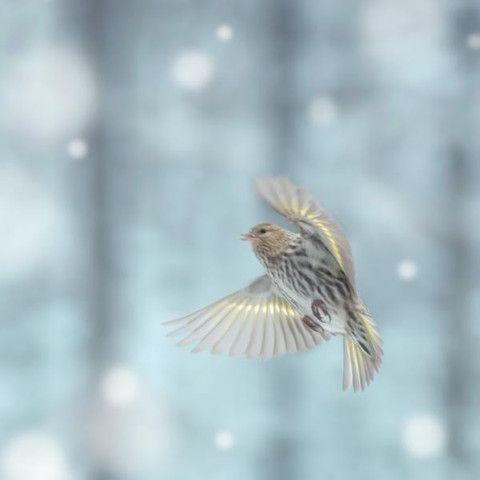 Pine Siskin in Snow - fine art bird photography print