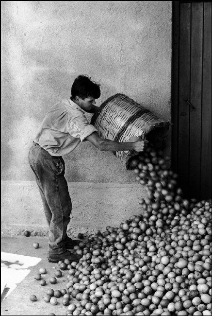 Ferdinando Scianna, Sicily. Bagheria: Harvesting Lemons. 1962.