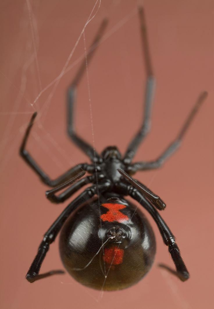 https://flic.kr/p/dm4Y3w | Black Widow Spider | Female Black Widow Spider, Latrodectus mactans Smithsonian National Museum of Natural History Insect Zoo/ Butterfly Pavilion