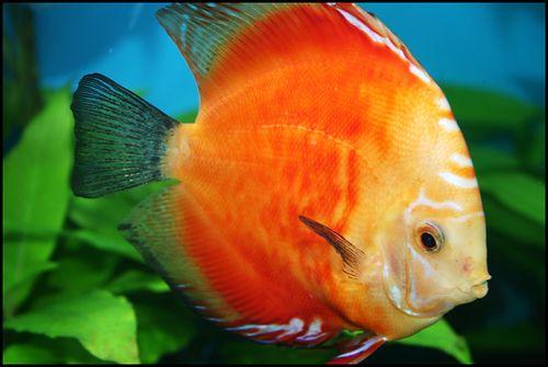 Orange Discus Fish | photo