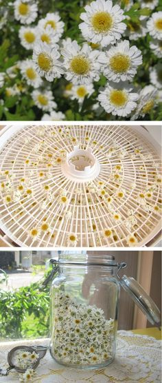 How to grow chamomile and make tea from it