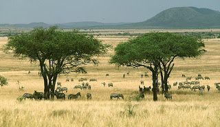 A savanna is a rolling grassland scattered with shrubs and isolated trees, which can be found between a tropical rainforest and desert biome.