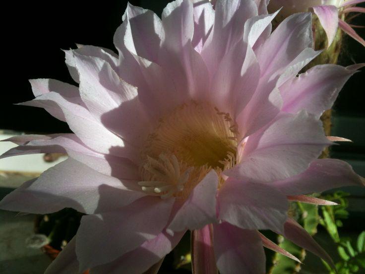 Cactus flower June 2013 - Fiore di cactacea