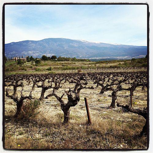 Les 25 meilleures id es concernant pied de vigne sur pinterest tuteur arbre cep de vigne et - Acheter pied de vigne ...