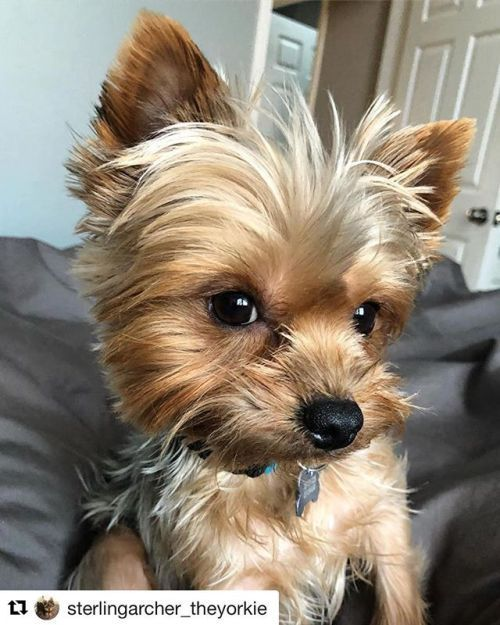 Cute Yorkie Yorkies Pinterest Yorkie Yorkshire Terrier And
