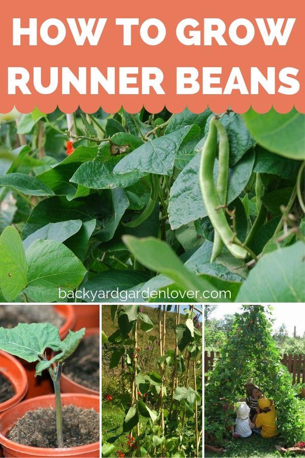 How To Grow Runner Beans For A Rich Harvest Gardening For Beginners Growing Vegetables Runner Beans