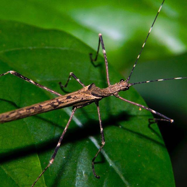 Un tipo de María Palitos en la reserva natural Río Claro Antioquia. . #macro #macrophotography #insect #colorful #insectos #isectariouniversidadnacionalmedellin #universidadnacional #medellin