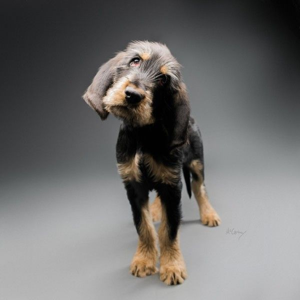 Otterhound puppy. By the McCartneys.