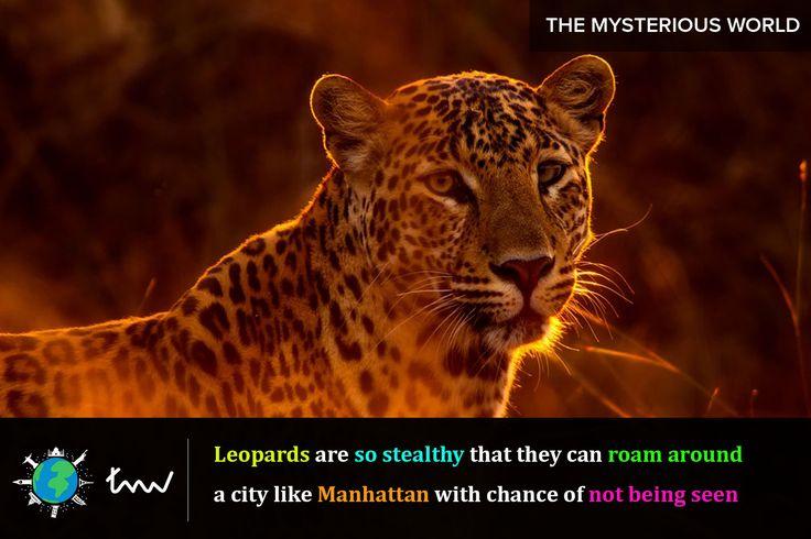 #animals #leopard #facts