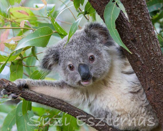 Cute Baby Koala Photo Koala Print Safari Baby Nursery