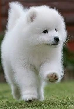 cute samoyeds | Cute Samoyed Puppies For Sale