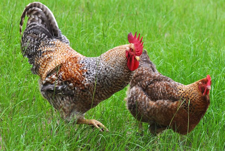 Chicken Breed Images images