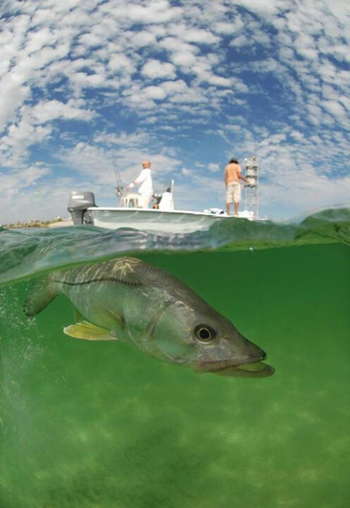 109 best images about florida love on pinterest for Florida fish size limits