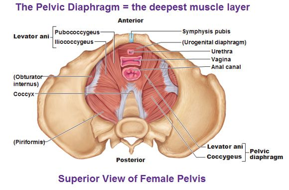 muscles of the pelvic floor diaphragm levator ani coccygeus pubococcygeus iliococcygeus