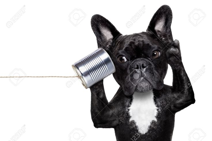 37114407-french-bulldog-dog-listening-or-talking-on-the-can-telephone-isolated-on-white-background-Stock-Photo.jpg (1300×866)